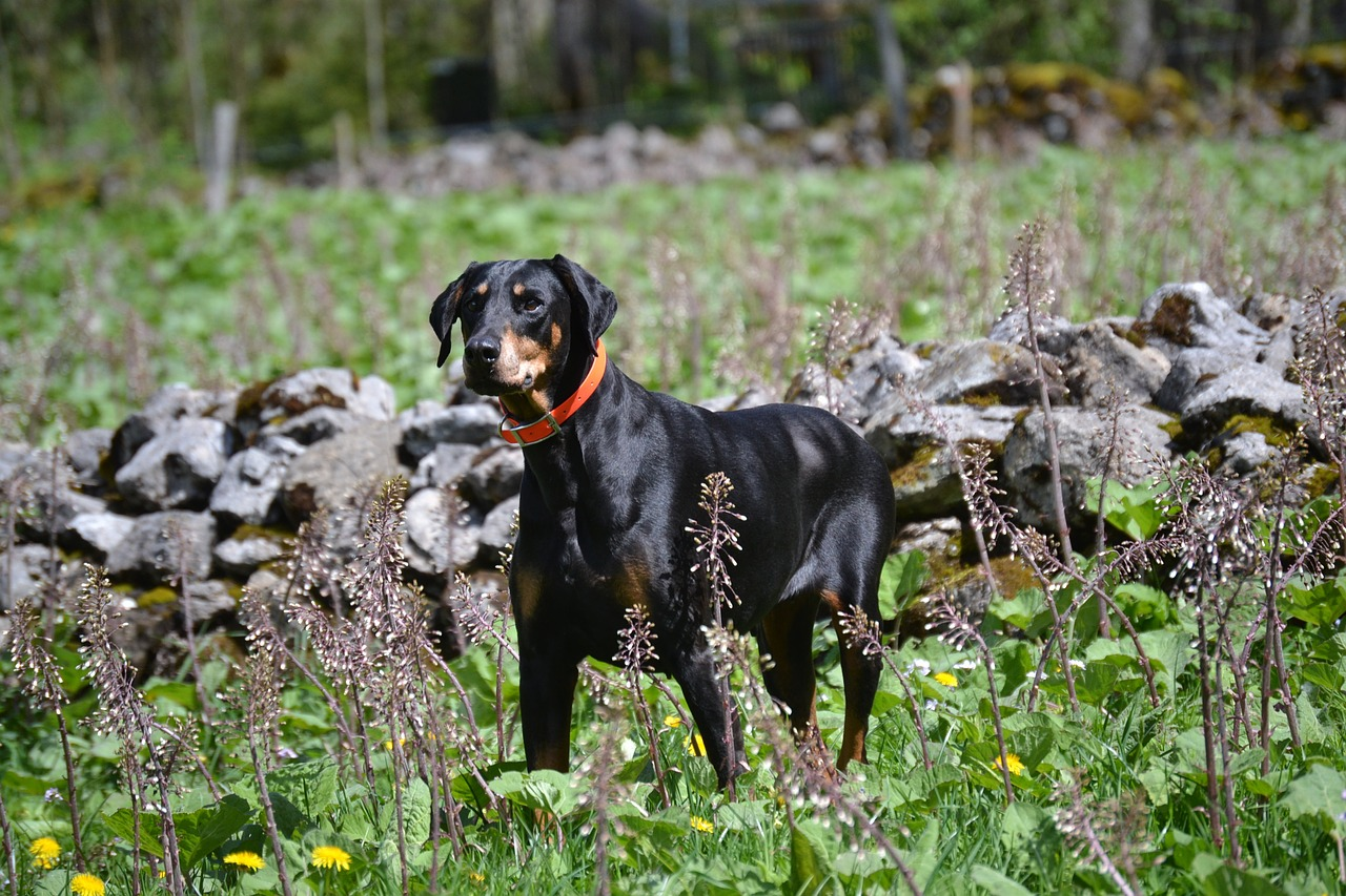 Doberman training needs to be firm and patient. Dobermans are highly intelligent does and fiercely loyal
