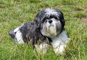 Shih Tzu lying down on the green field