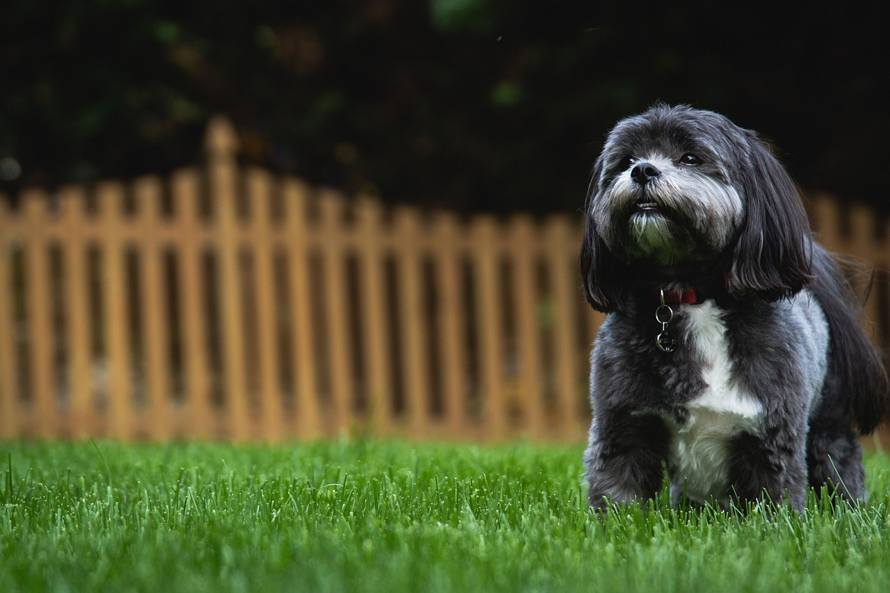 Shih Tzu is a peaceful dog and melts your heart
