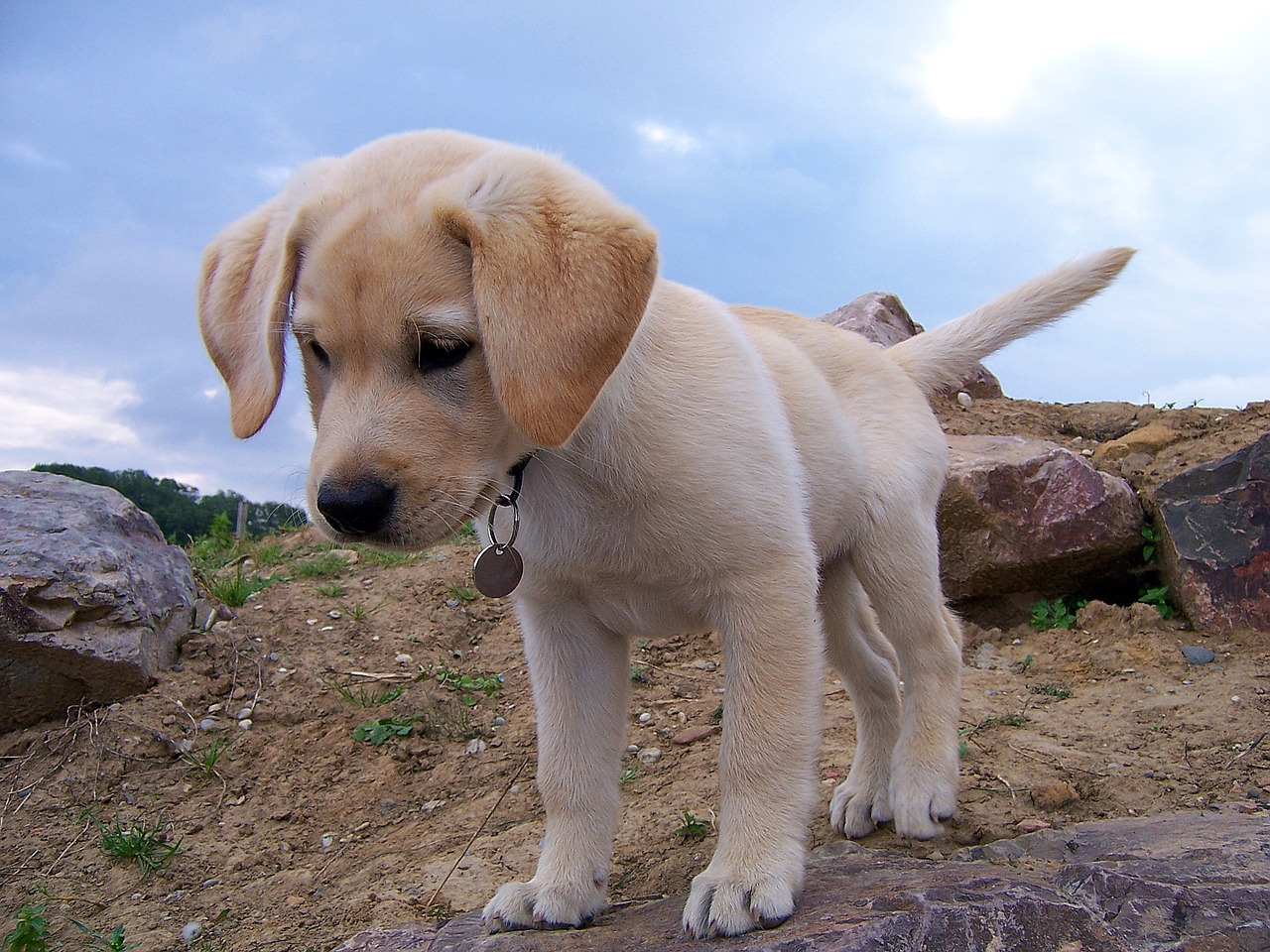 labrador training to be patient