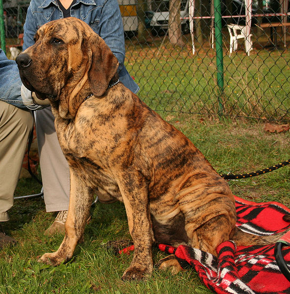 fila brasileiro is a good guard dog if trained well.