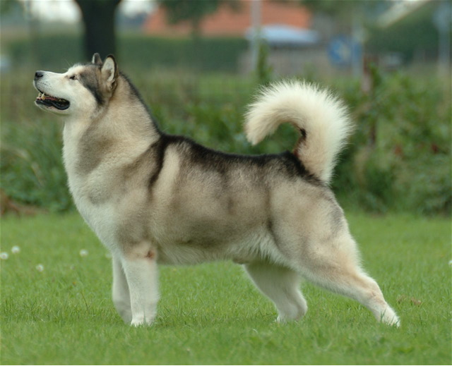 Alaskan Malamute is known to be a huge sized dog with a powerful bite
