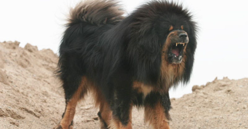 Top  Ferocious Dog Breeds