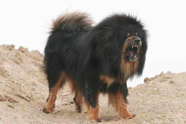 33 Most DANGEROUS DOGS List - Fierce