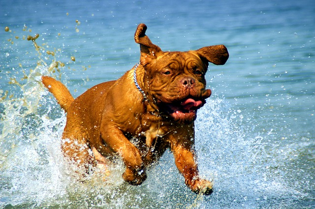 Dogue De Bordeaux can be aggressive and protective of their owners