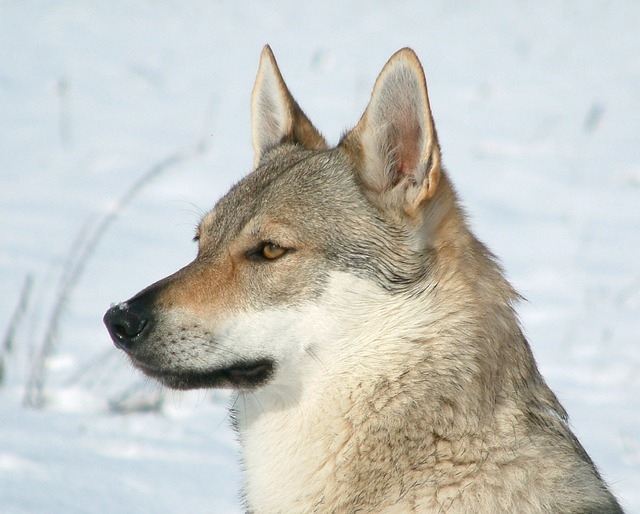 wolf dogs are unpredictable and can flick the aggression switch all of a sudden
