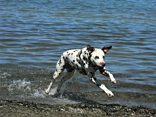 dalmatian are generally sociable but do not be deceived