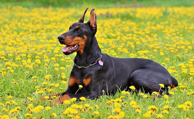The Doberman needs to be trained not to attack unnecessarily