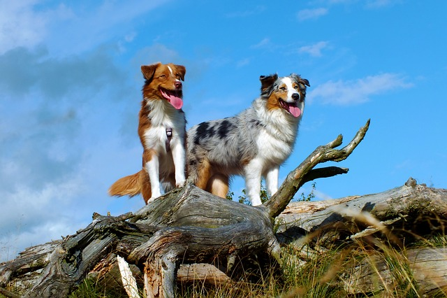 Australian shepherd dogs are highly intelligent herding dogs