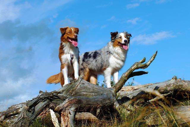Australian shepherd dogs are highly intelligent herding dogs