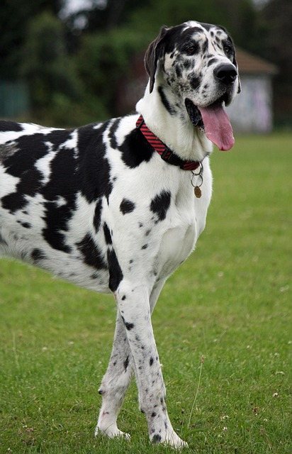 Great Danes need to be trained