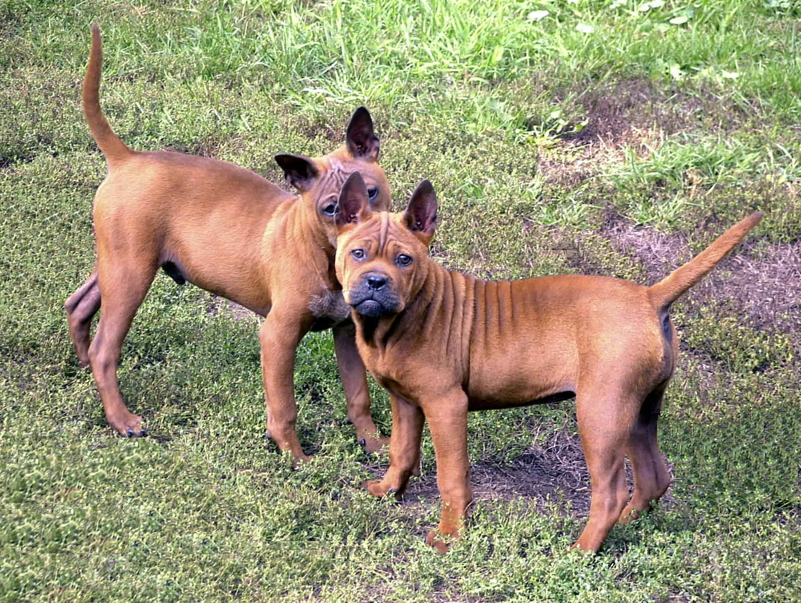 Chinese Chongqing dogs are hard to find