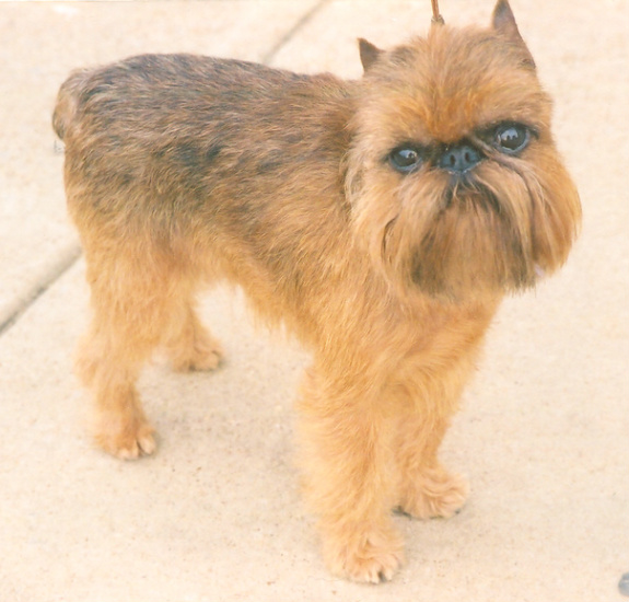 Dog Breed Brussels Griffon Puppies