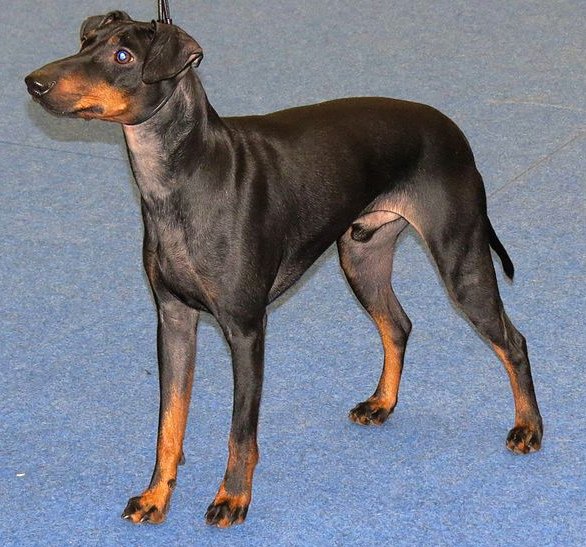 Best 50 Small Dog Breeds For Apartments - Platpets - Training ...