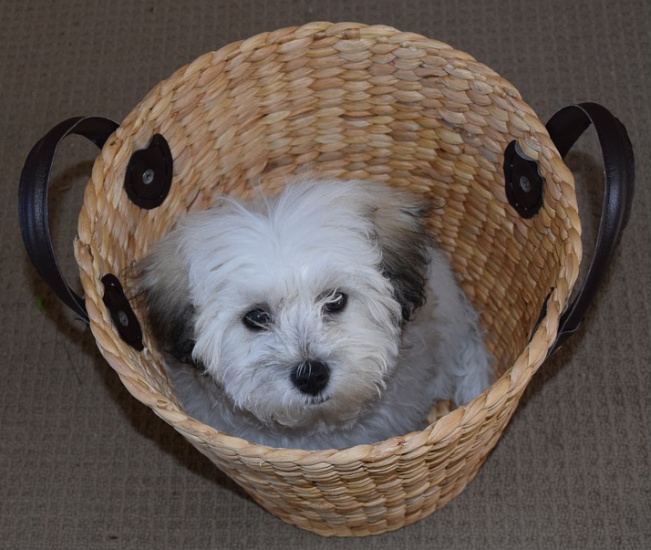 best 50 small dog breeds for apartments platpets training resources for your pet. Black Bedroom Furniture Sets. Home Design Ideas