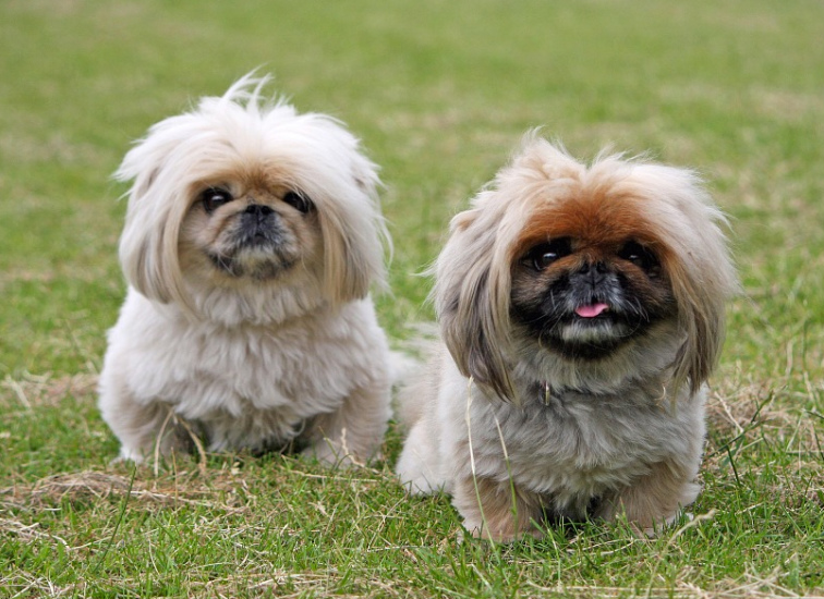 Best Little Dogs For Apartments