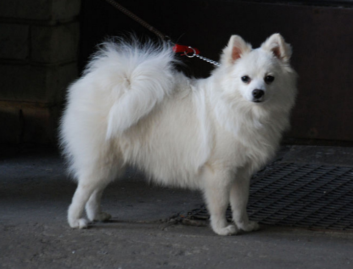 Aggressive Dog Breeds For Apartments