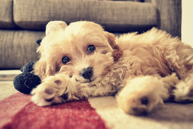 Ruth Henderson Charlie the Adorable Cavapoo : Flickr
