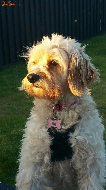 Cavoodle (Cavapoo) Dog Breed Information and Temperament - Page 2 of