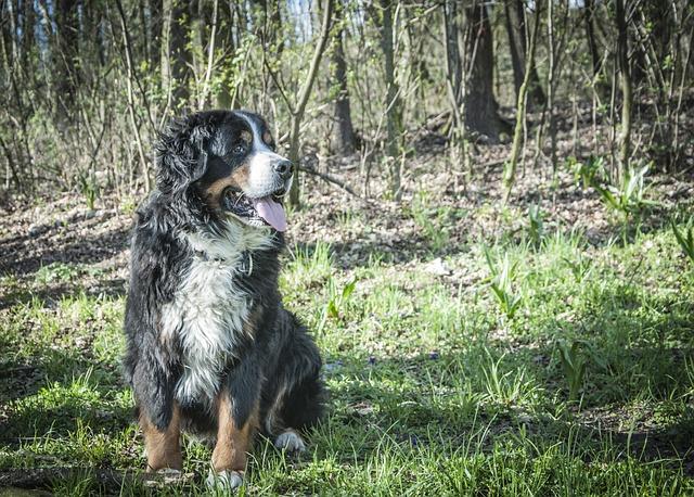 bernese-mountain-dog-alert