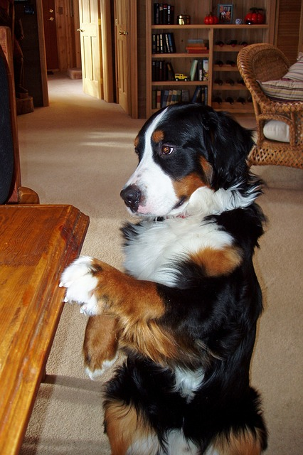 bernese-mountain-dog-ask for food