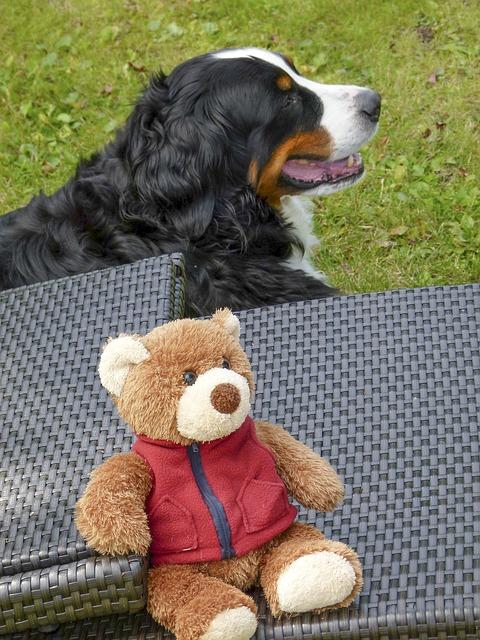 bernese mountain dog bear