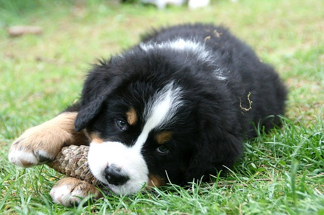 bernese-mountain-dog-chew toy