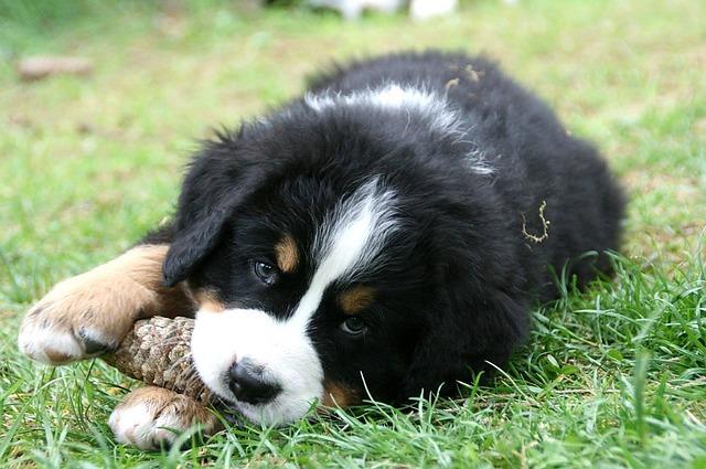bernese-mountain-dog-chew toy