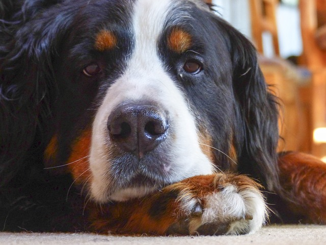 bernese-mountain-dog-close up