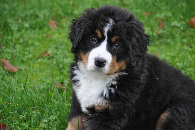 bernese-mountain-dog-cute 10