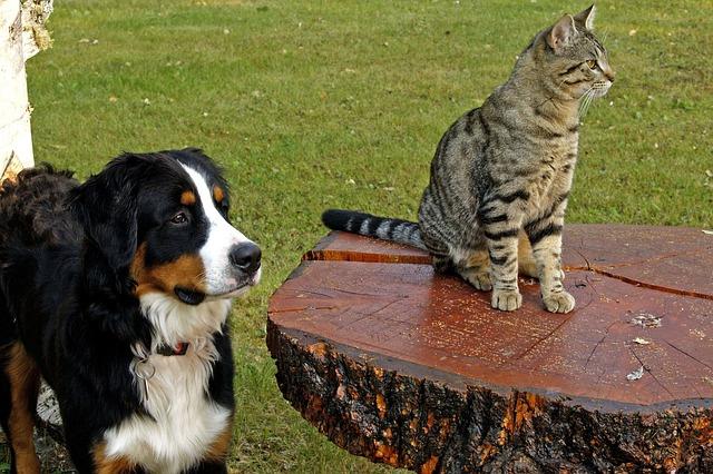 bernese-mountain-dog-friendly