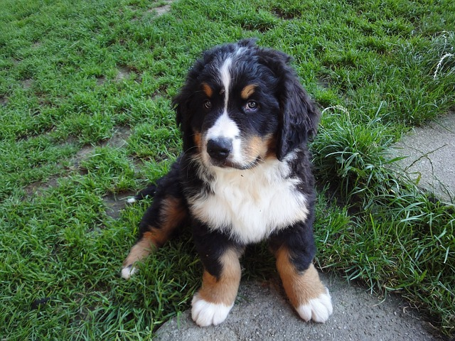 bernese-mountain-dog-looking back