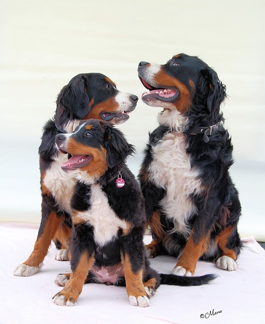 bernese-mountain-dog-pack of 3