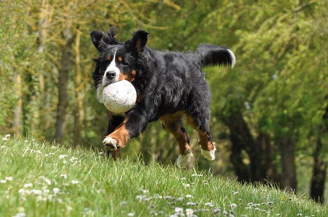 bernese mountain dog play ball