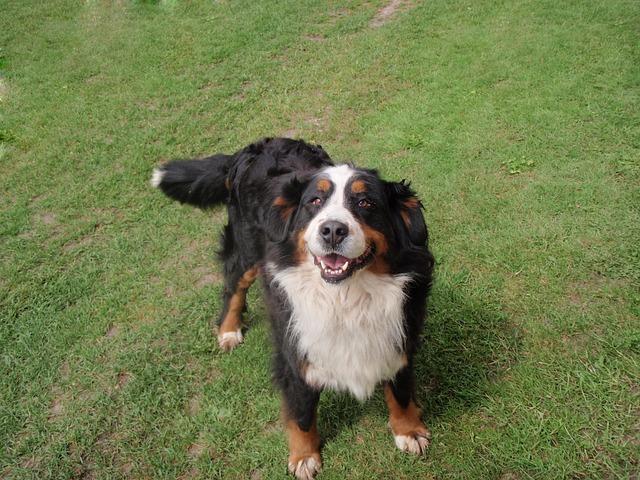 bernese mountain dog play tricks tie