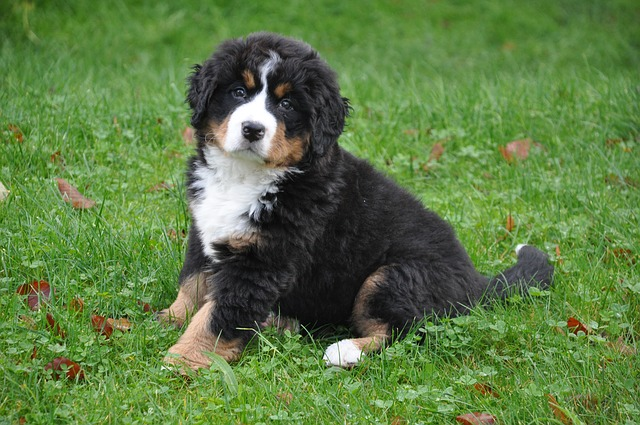 bernese-mountain-dog-puppy 13