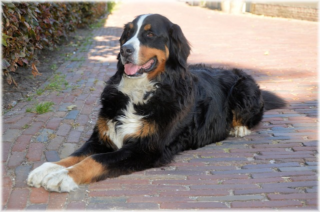 bernese-mountain-dog-rest steady grooming