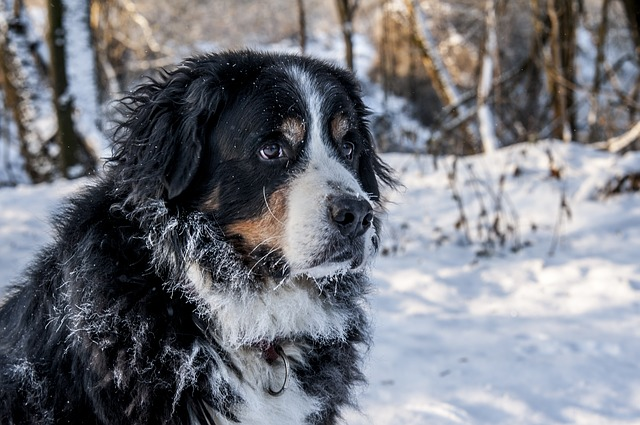 bernese-mountain-dog-winter 8