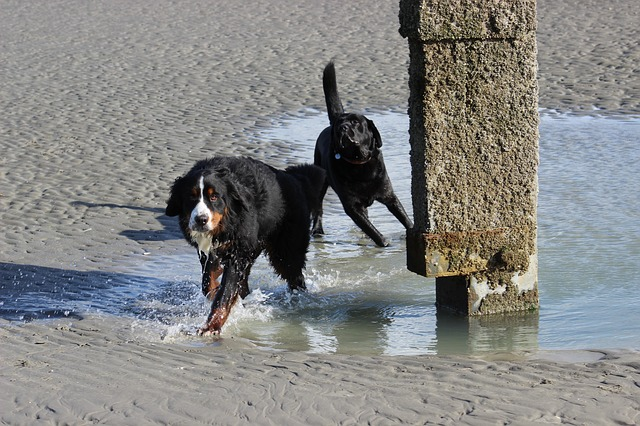 bernese mountain dogs beach