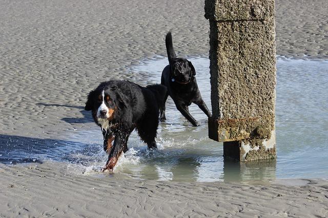 bernese mountain dogs beach