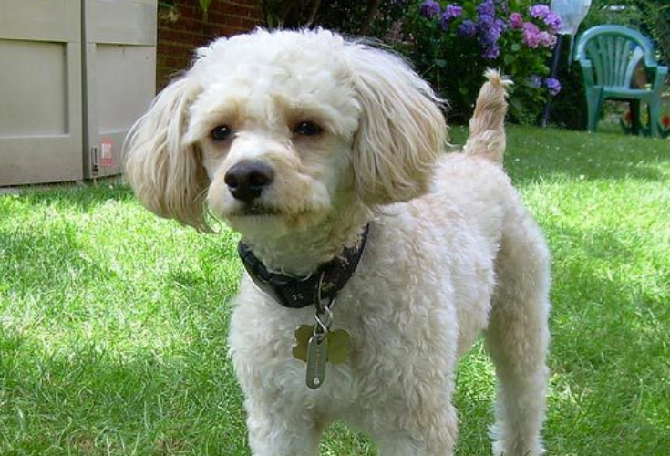 cavapoo dog
