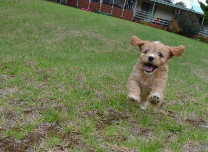 Cavoodle (Cavapoo) Dog Breed Information and Temperament - Platpets
