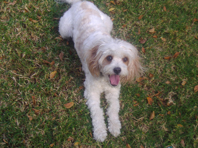 Are Cavoodles Good Dogs