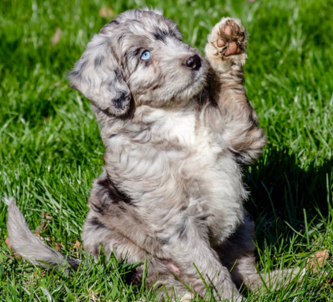 Aussiedoodle playing