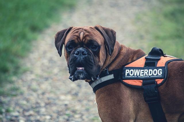 Boxer dog fierce