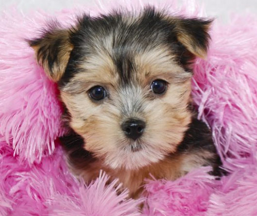 Morkie Dog Breed Temperament Information T And Training