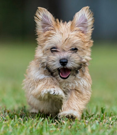 morkie dog breed temperament information diet and training