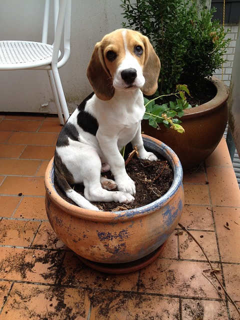 beagle sitting in a pot