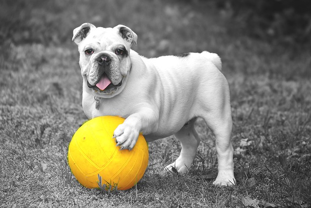 bulldog with ball toy
