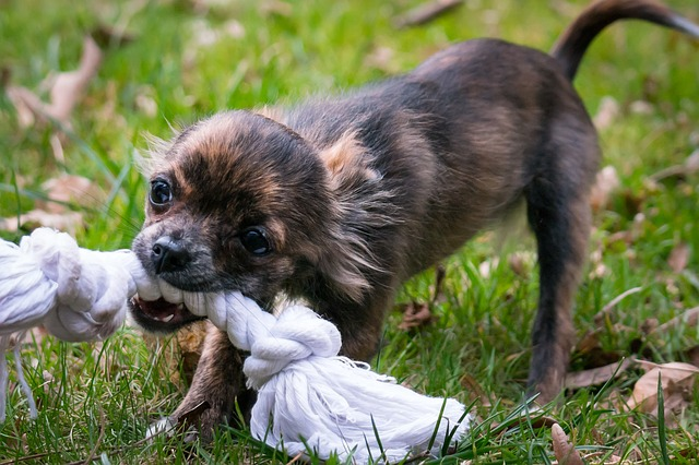 chihuahua chewing rope